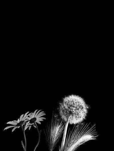 Close-up of dandelion against black background