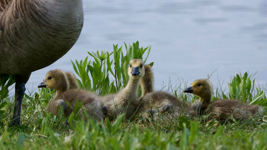 """Spring has sprung"" Animal Family Field Lakeshore Outdoors Spring,babies,geese,goslings,family,group, Wildlife Young Animal Young Bird"