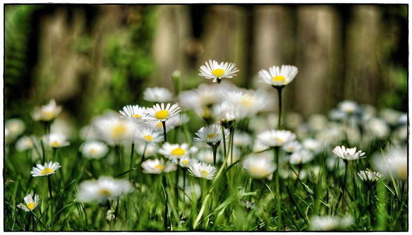 daisies I 16:9 Image Green Beauty In Nature Close-up Daisy Flower Flowering Plant Fragility Lawoe No People Outdoors Plant White Yellow
