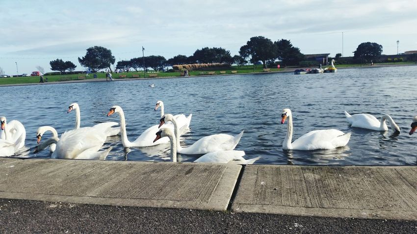 Canoe Lake White Swan