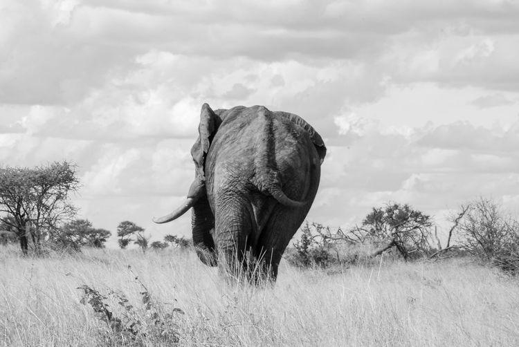 Animal Themes Animal Trunk Animals In The Wild Cloud - Sky Day Elephant Elephants Field Grass Mammal Nature No People One Animal Outdoors Safari Animals Sky Standing Tree Tusk