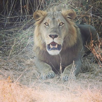 Finally got to see my first lion in Tanzania... I was out on safari in RuahaNationalPark in Iringa . Tried to get close for a selfie, but the damn lion was cranky. Tanzania MyAfricanVacation Lion Ruaha