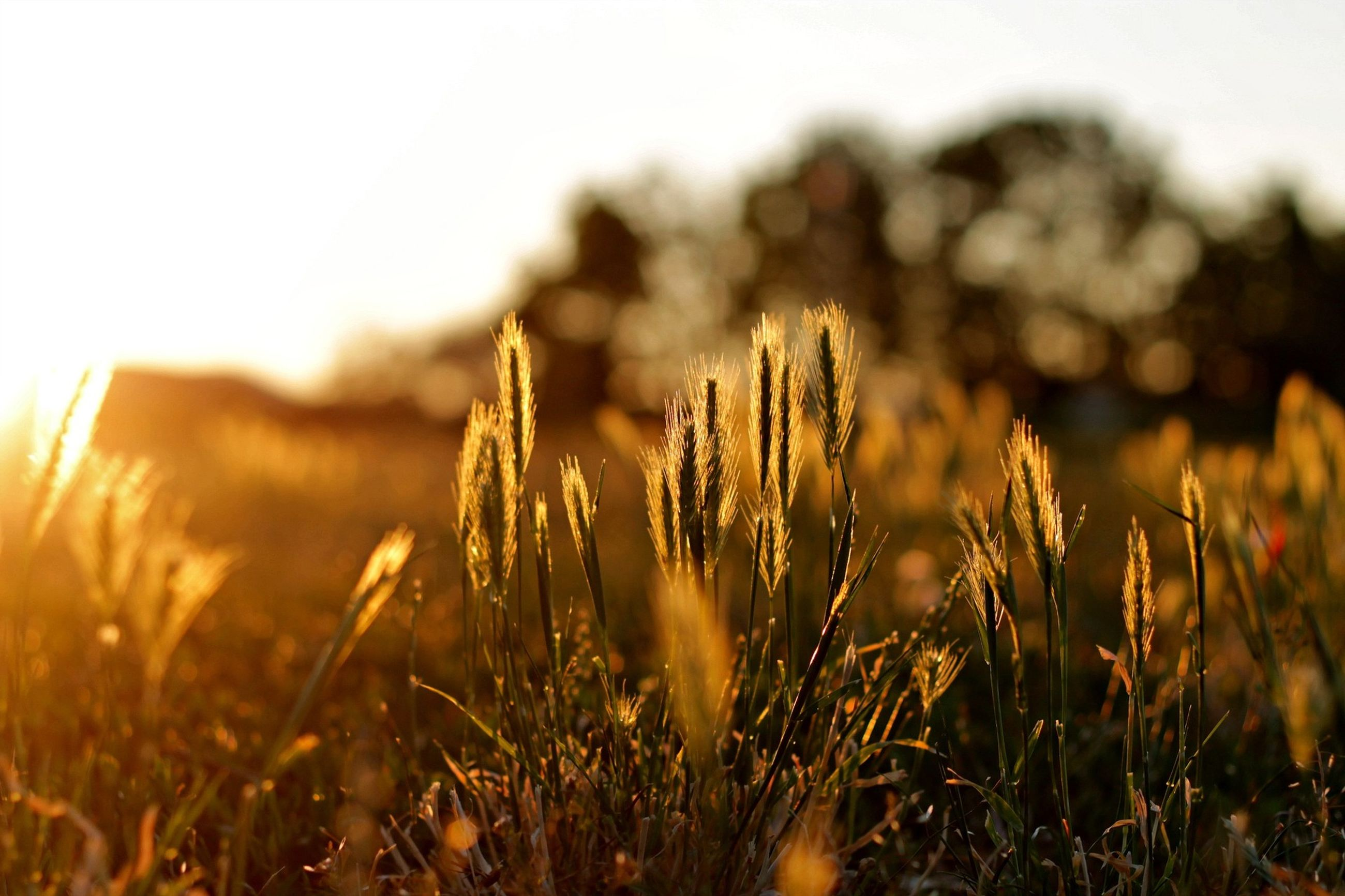 growth, field, focus on foreground, grass, plant, close-up, nature, selective focus, tranquility, beauty in nature, growing, landscape, clear sky, sky, tranquil scene, outdoors, no people, day, sunlight, scenics