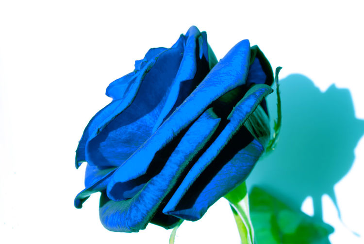 Blue Rose Backgrounds Blue Botany Close-up Detail Extreme Close Up Flower Flower Head Focus On Foreground Fragility Freshness Full Frame New Life No People Part Of Petal Red Rosé Selective Focus Softness