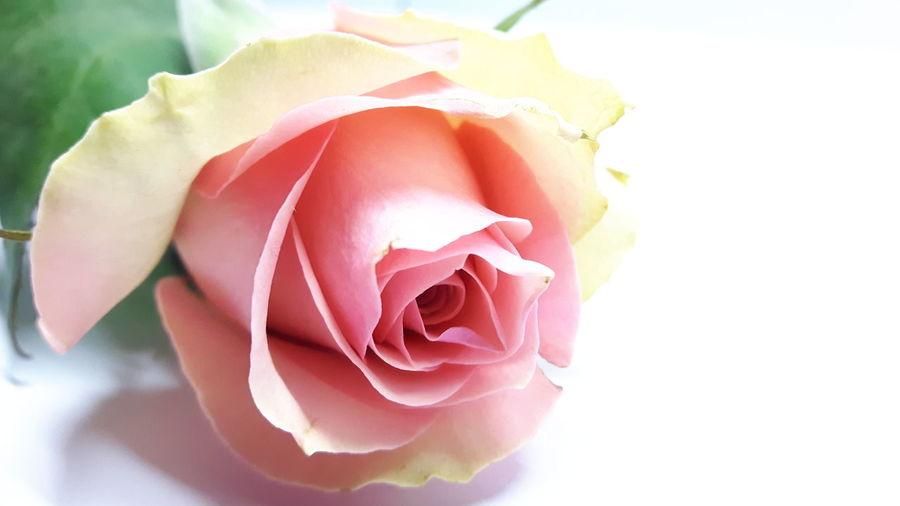 Pink rose *6