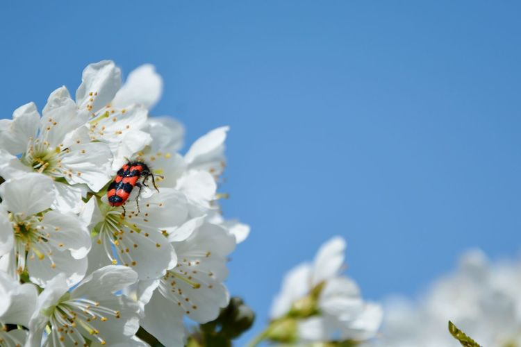 Close-up of insect on white cherry blossom and many blue sky