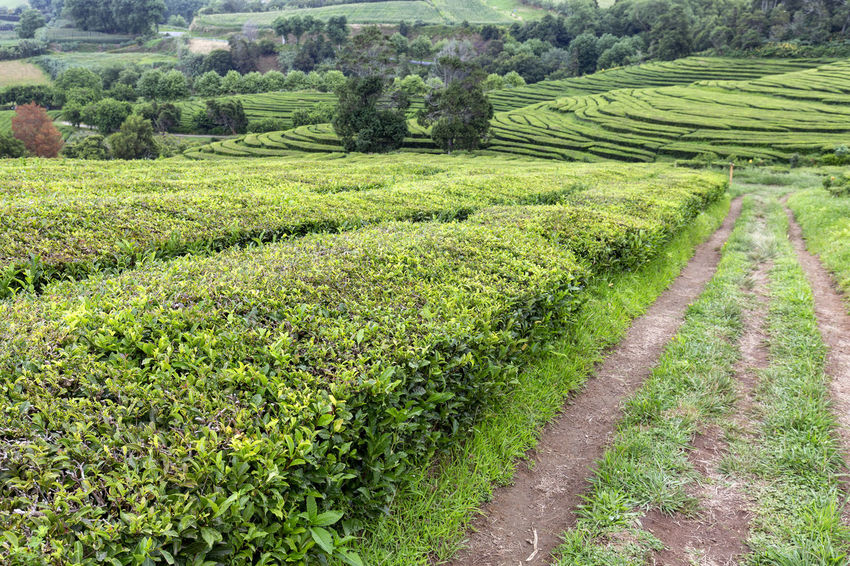 Road among endless rows of tea growing on the island of Sao Miguel in the Azores. Tea Plantation Azores Portugal Green Production Organic Açores Sao Miguel Destination Europe Atlantic São Brás Agriculture Gorreana Tourism Tranquility Growth Field Landscape Plant No People Nature Black Tea Green Tea