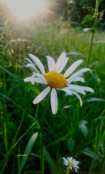 The Great Outdoors - 2017 EyeEm Awards Flower Plant Nature Beauty In Nature Outdoors Sunlight Day Fragility Green Color Focus On Foreground Freshness Uncultivated Close-up No People Flower Head Summer Petal Outdoor Pursuit Leaf Grass