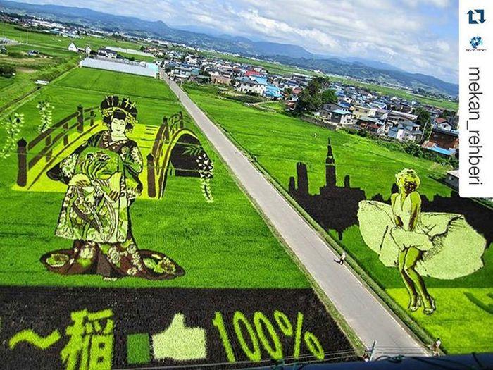 Repost @mekan_rehberi with @repostapp ・・・ Japonya'da her yıl Aomori Prefecture de Inakadate gibi yerleşim bölgelerinde pirinç çiftçileri bir çeşit pirinç tarlası resim sanatı yapıyor. 👏👏👏👏 Geleneksel Japonya'ya özgü figürlerinden başka dünyaca ünlü sanatçıların tablolarındaki figürlere göre (Marilyn Monroe gibi) ekim yaparak dev görsel harikalar yaratıyorlar.👍👍🔱💍🃏 Bu sanat türü ilkin 1993 yılında İnakatadate yöresinde Aomori köyünde başlamış kısa süre içinde diğer pirinç tarımı yapılan köy ve kasabalara yayılmış. Küçük mor ve sarı yapraklı kodaimai ve yeşil yapraklı tsugaru-roman pirinç filizlerini, ortaya çıkarmak istedikleri figürlere göre dikiyorlarmış. Yani tümüyle doğal... Boya, mürekkep gibi malzemeler asla kullanmıyorlar. Elbette bu pirinç tarlası resim sanatına ilgi büyük oluyor. Örneğin 8.700 nüfuslu olan Aomori köyüne bu resimleri görmek için 150.000 turist gelmekte... ✅✅✅✅✅✅✅👈 SLAYT BİRAZDAN ✅✅✅ Japonya Nippon Japan Aomori Inakadate Pirinçtarlaları Ricefields Ricepaddy Ricepaddyart Sanat Doğasanatı Natureart Terraform Fieldsofart Mekanrehberi