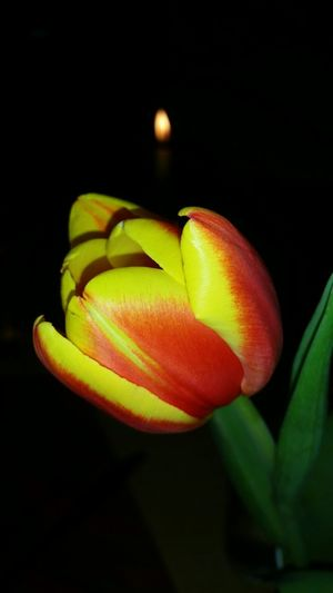 Tulip And.candle Flame