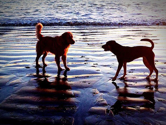Doggie Dogs A Dogs Life Dog Love Beachphotography At Dusk Long Beach, California USA  Sunset Silhouettes Outdoors Goldenretriever