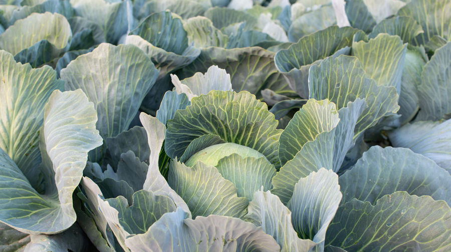 Full frame shot of cabbage on field