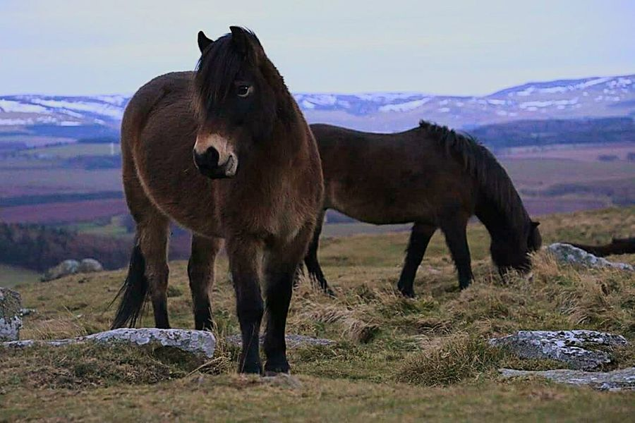 Exmoor pony. Pony Exmoor Pony Scotland Wild Pony❤️ Cute Outdoors Outside Photography Nature Nature Photography Taking Photos Photography Edit Check This Out Photooftheday Love