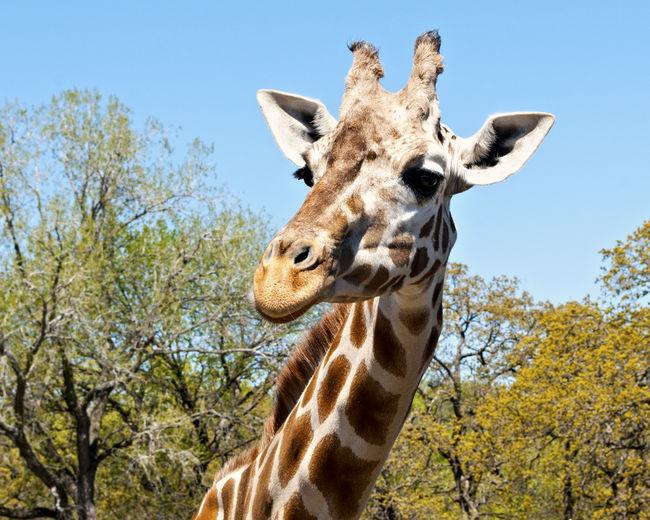 Giraffe at the zoo! Animal Animal Head  Animal Markings Beauty In Nature Blue Sky Close-up Giraffe Giraffe♥ Low Angle View Mammal Oklahoma City Zoo Outdoors Trees Zoo First Eyeem Photo