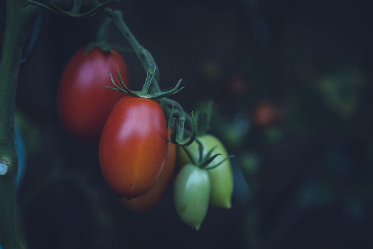 Breeding Seed Urban Gardening Vegetables & Fruits Vegetarian Food Healthy Eating Healthy Food Healthy Lifestyle Home Gardening Lifestyles Locavore Self Sufficiency Self-sufficiency Tomato Tomatoes Vegetable