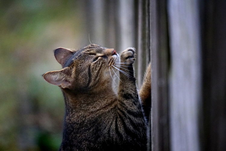 Cat Scratching at a Fence Wood Animal Animal Body Part Animal Head  Animal Themes Cat Claws Close-up Day Domestic Domestic Animals Domestic Cat Feline Fence Focus On Foreground Looking Mammal No People One Animal Pets Scratching Scratching Post Selective Focus Vertebrate Whisker