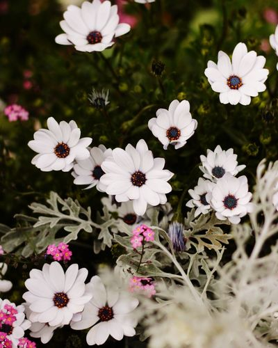 Flower White Color Fragility Petal Freshness Beauty In Nature Nature Growth Flower Head No People Blooming Canoneos CanonEOS600D Canon600D Canon Canonphotography Close-up Pollen Plant Day Outdoors Osteospermum