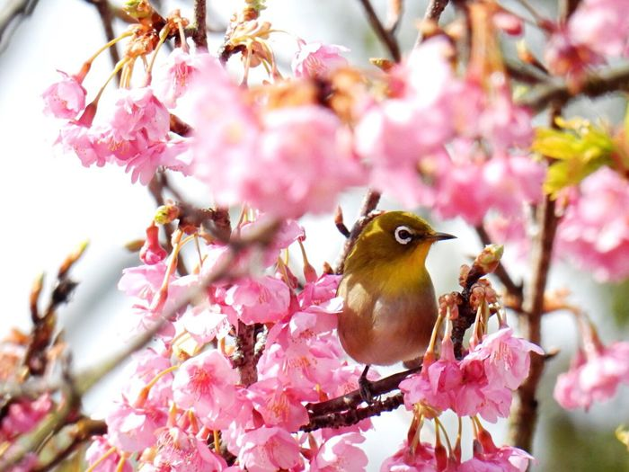 Flowers Nature Life Nature_collection Ehime Spring! Japanese White-eye Kawazu Cherry Tree メジロ 河津桜 野間馬ハイランド