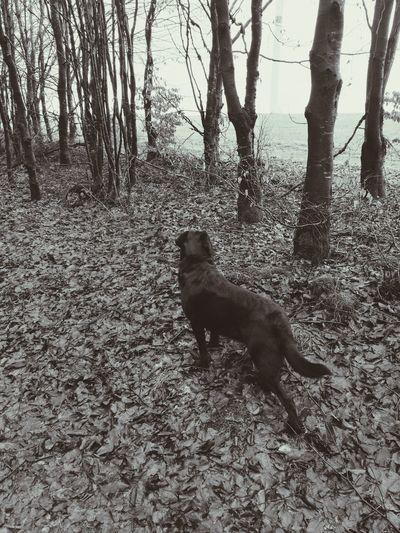One Animal Nature Regenwetter Waldspaziergang Outdoors Day Black Labrador Hundeliebe