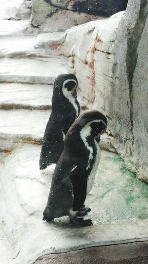 Pinguin Taking Photos Pinguine Zwei Eyem Gallery EyeEm Best Shots Tierfotografie Tierwelt Animal_collection Animal Animal Photography Tierportrait