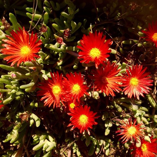 Ice Plant Flowers ICE PLANT Cactus Cactus Flower Blooming Springtime Blossom Plant Growth