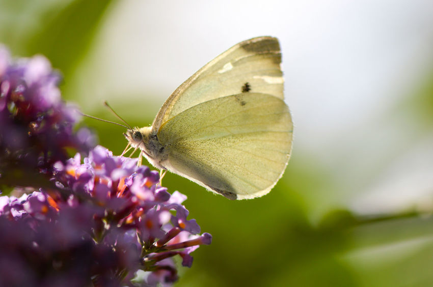 Cabbage butterfly collecting nectar from a buddleia... Insect Butterfly - Insect Animals In The Wild Plant Nature Wildlife Photography Bright No People Fragility Focus On Foreground Animal Themes Freshness Feeding  One Animal Outdoors Summer Close-up Perching Butterfly Collecting Nectar Macro Macro Insects Cabbage Butterfly Buddleia Beauty In Nature