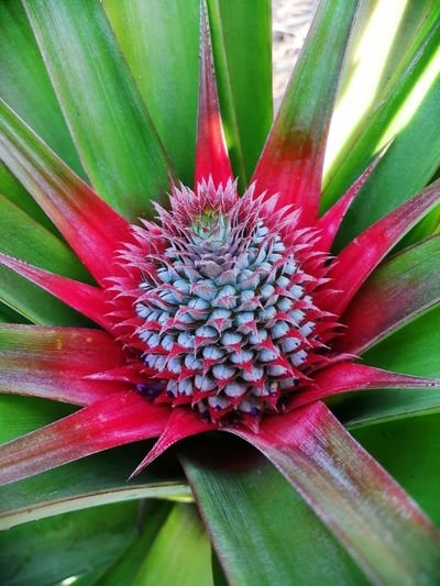 Vegetable Green Organic Farm Fruit Raw Food Thailand Organic Pineapple Flower Head Flower Red Leaf Petal Eastern Purple Coneflower Close-up Plant Green Color Blooming Blossom Plant Life Botany Pollination In Bloom