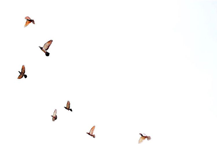 Low angle view of birds flying against clear sky