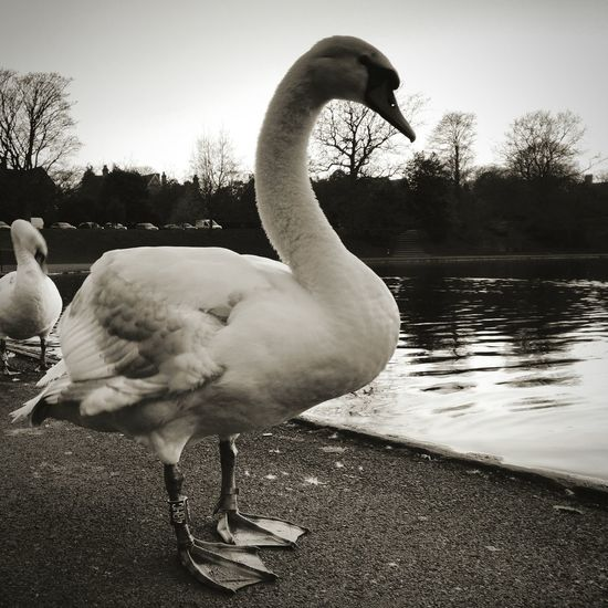 Swans on the lake First Eyeem Photo