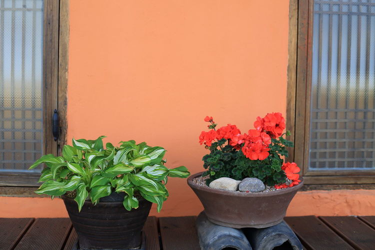 Potted plant by window against orange wall
