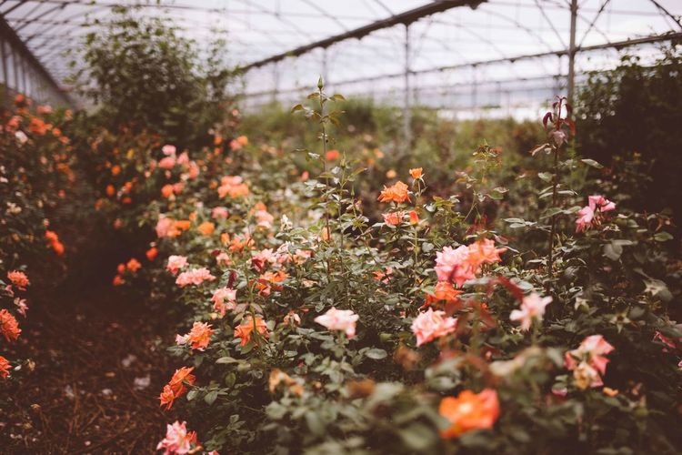 field of roses in greenhouse Field Of Roses Flowers,Plants & Garden Nature Pink Rose Botany Field Field Of Flowers Flower Flowering Plant Flowers Greenhouse Growth Nature Orange Roses Petal Pink Roses Plant Rose - Flower Rose Bush Rose Garden Roses Roses Are Pink Roses In Greenhouse Sea Of Flowers Thorns And Beauty