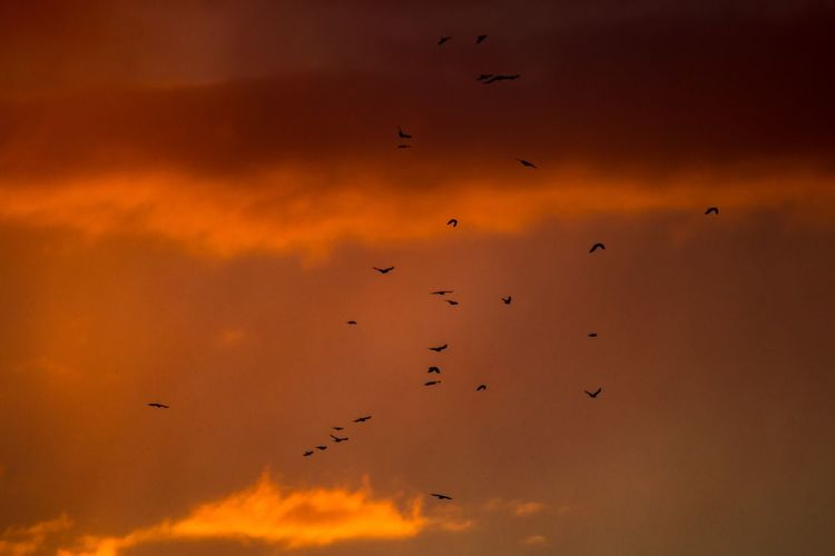 Krähen über Schleswig Flying Bird Flock Of Birds Large Group Of Animals Animals In The Wild Animal Themes Sunset Animal Wildlife Silhouette Wildlife Sky Beauty In Nature Nature No People Cloud - Sky Outdoors Orange Color Migrating Mid-air Spread Wings