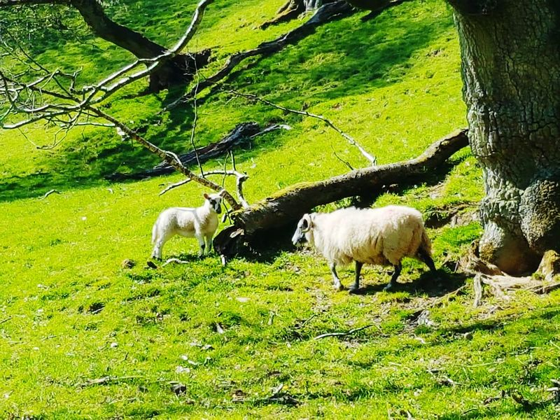 Taking Photos Taking Pictures Mobile Photography Sheep Springtime Meadow Fieldscape Sheep🐑 Lambs Spring Lamb's Spring Lamb Spring Landscape Spring Light Spring Has Arrived Spring 2016 Sheep Meadow Farm Life Farming Country Life Countryside Sanquhar Dumfrieshire Animals Farm Animals Beautiful Day