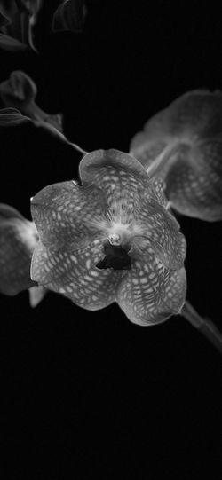Vanda Vanda Nightphotography Orquid Flower