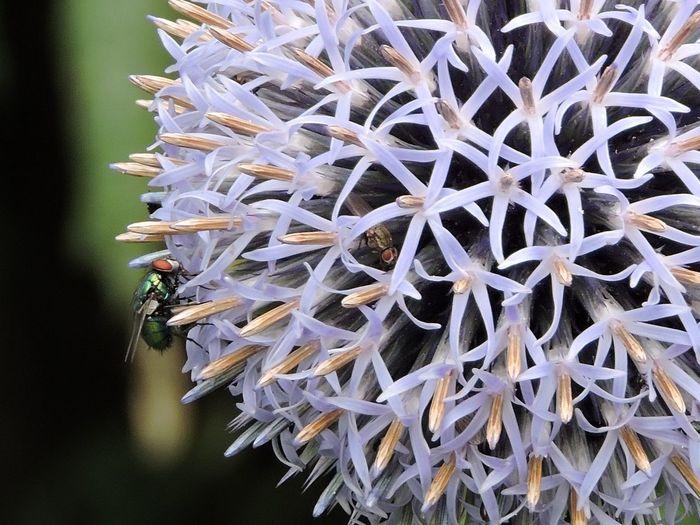 Close-up of flies on purple allium