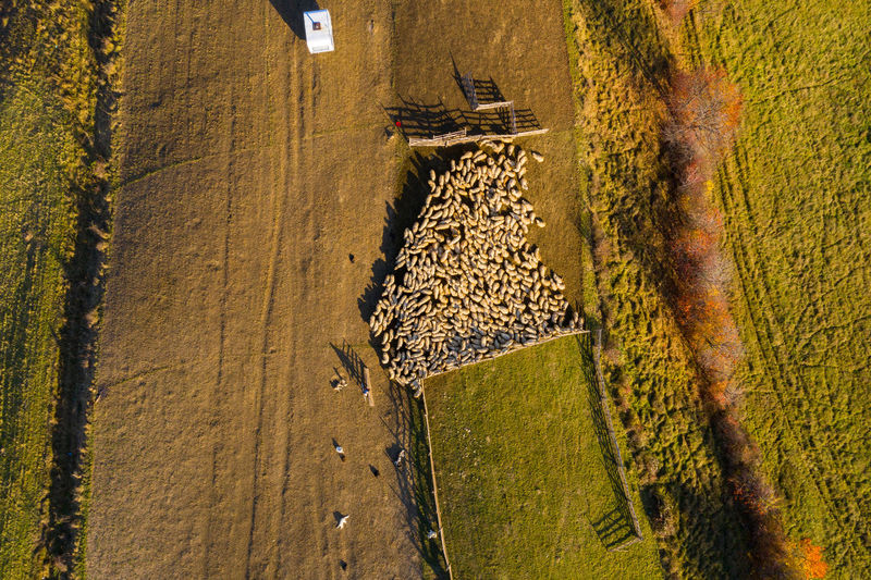 Aerial view of sheep on field