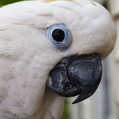Clara the cockatoo Cockatoo Feathers Animal Head  Animal Themes Beak Bird Close-up Day Domestic Animals Exotic Pets Focus On Foreground Leafy No People One Animal Outdoors Parrot Pets Portrait White Color
