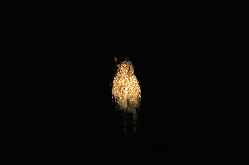 Watcher in the dark! Bird Photography Birding Birds Of EyeEm  Eagle Owl  Nature Nature Photography Travel Traveling Wildlife & Nature Wildlife Photography Wildlife Photos Africa Animal Photography Animal Themes Animal Wildlife Animals Beauty In Nature Bird Birds Birds_collection Owl Safari Safari Animals Spotted Eagle Owl Wildlife