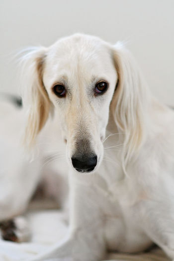 Close-up portrait of white dog at home