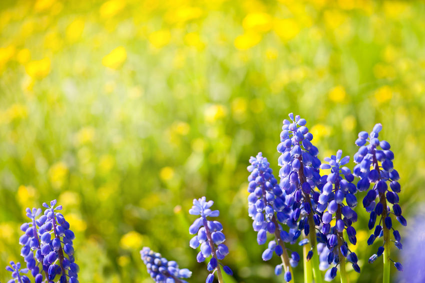 Blue Muscari Mill bunches of grapes close-up in the spring, bluebell blooming in garden in Poland. Abloom Beauty In Nature Bloom Blooming Blooming Flower Blooming Flowers Blue Bluebell Bluebells Flower Flowerets Flowering Flowers Grapes Muscari Muscari Mill Nature No People Plant Plants Purple Spring
