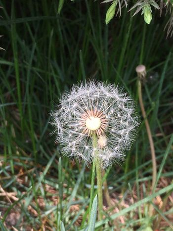 Flower Growth Fragility Dandelion Nature Flower Head Plant Field Uncultivated Beauty In Nature Close-up Freshness No People Day Outdoors Blooming