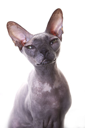 Animal Themes Cat Cats Close-up Day Domestic Animals Don Sphynx Mammal No People One Animal Pets Studio Shot White Background