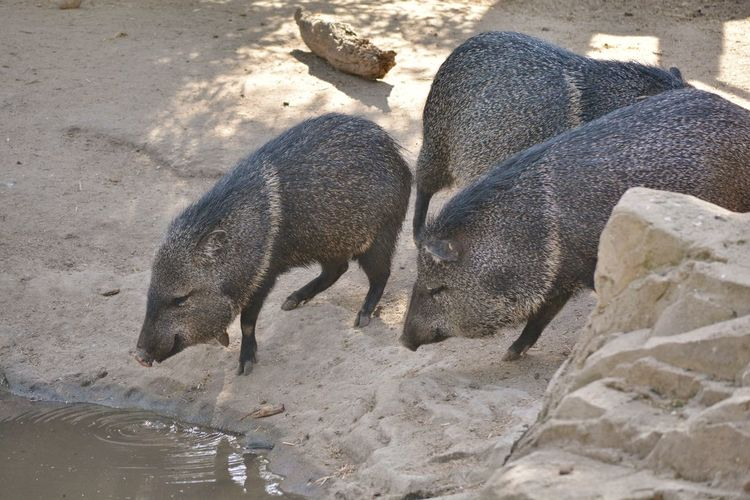 High angle view of peccaries drinking water