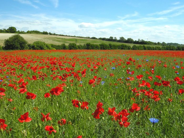 Summer Relaxing Walking Around Poppy Fields Summertime Blue Sky
