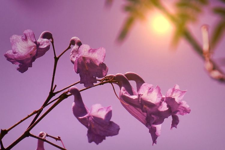 The City Light Flower Beauty In Nature Fragility Growth Nature Freshness Petal Pink Color Close-up Tree No People Twig Branch Flower Head Blossom Outdoors Plum Blossom Day Magnolia Light And Shadow Sun Violet Pink