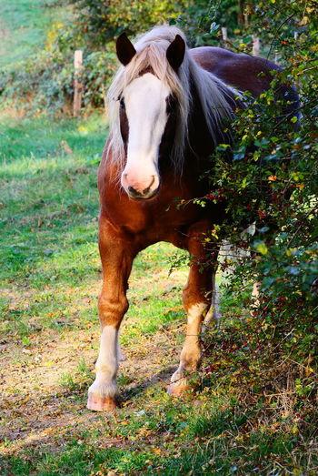 Haflinger Field Grass Horse