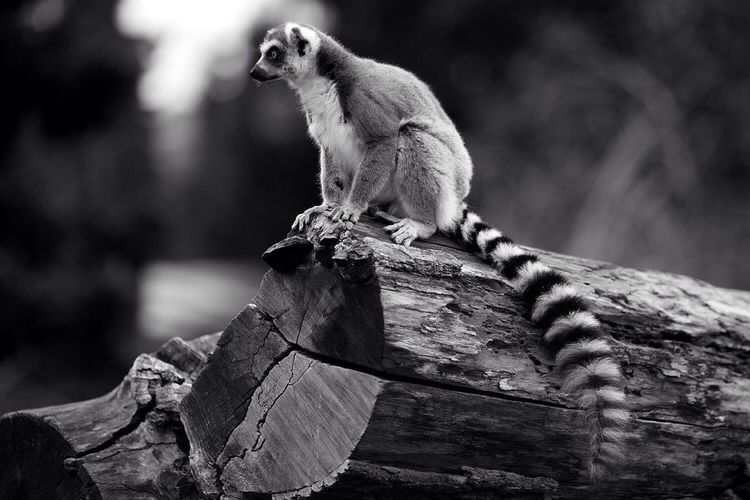 Lemur sitting on log