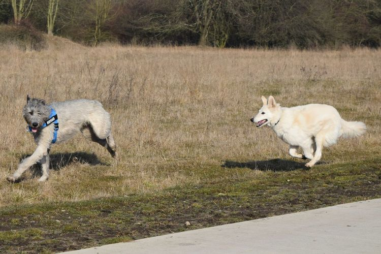 Animal Themes Nature Domestic Animals Animals In The Wild Outdoors Running Valentines Day Sunlight Dogwalk Take A Walk In The Park Dogs Of EyeEm Dogslife Irish Wolfhound Cearnaigh Winter 2017 February 2017 How Is The Weather Today? White ShepherdDog Play Dog Pets Weather Herrenkrugpark