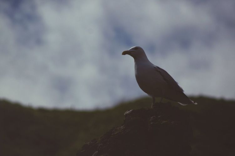 Scotland Seagull Bird Animal Themes Animal Animal Wildlife Animals In The Wild Vertebrate One Animal Perching No People Nature Sky Day Outdoors Silhouette Low Angle View Focus On Foreground Selective Focus Side View