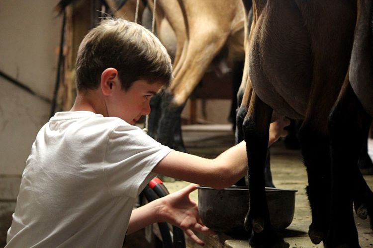 Boy milking cow at farm